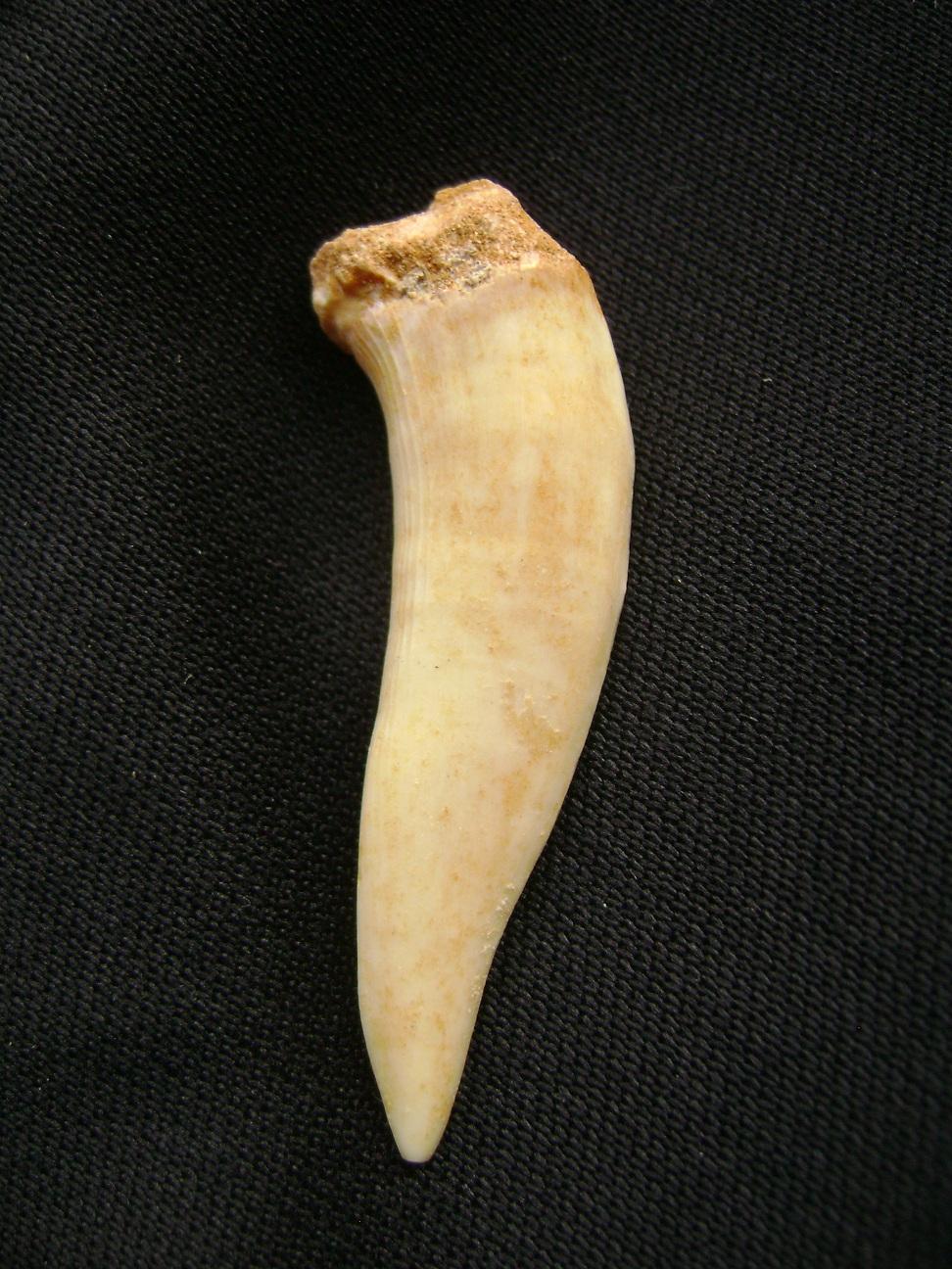 Fosil_zub_Enchodus_1.JPG