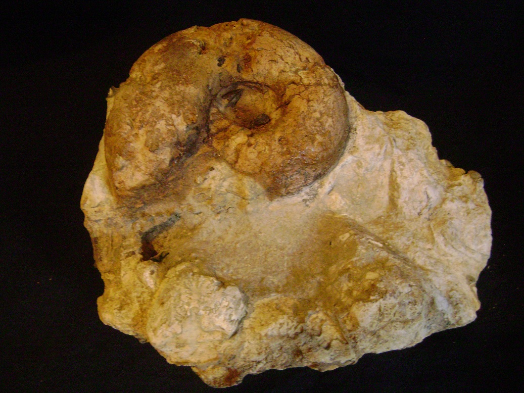 Fosil_Amonit_u_steni_1.JPG