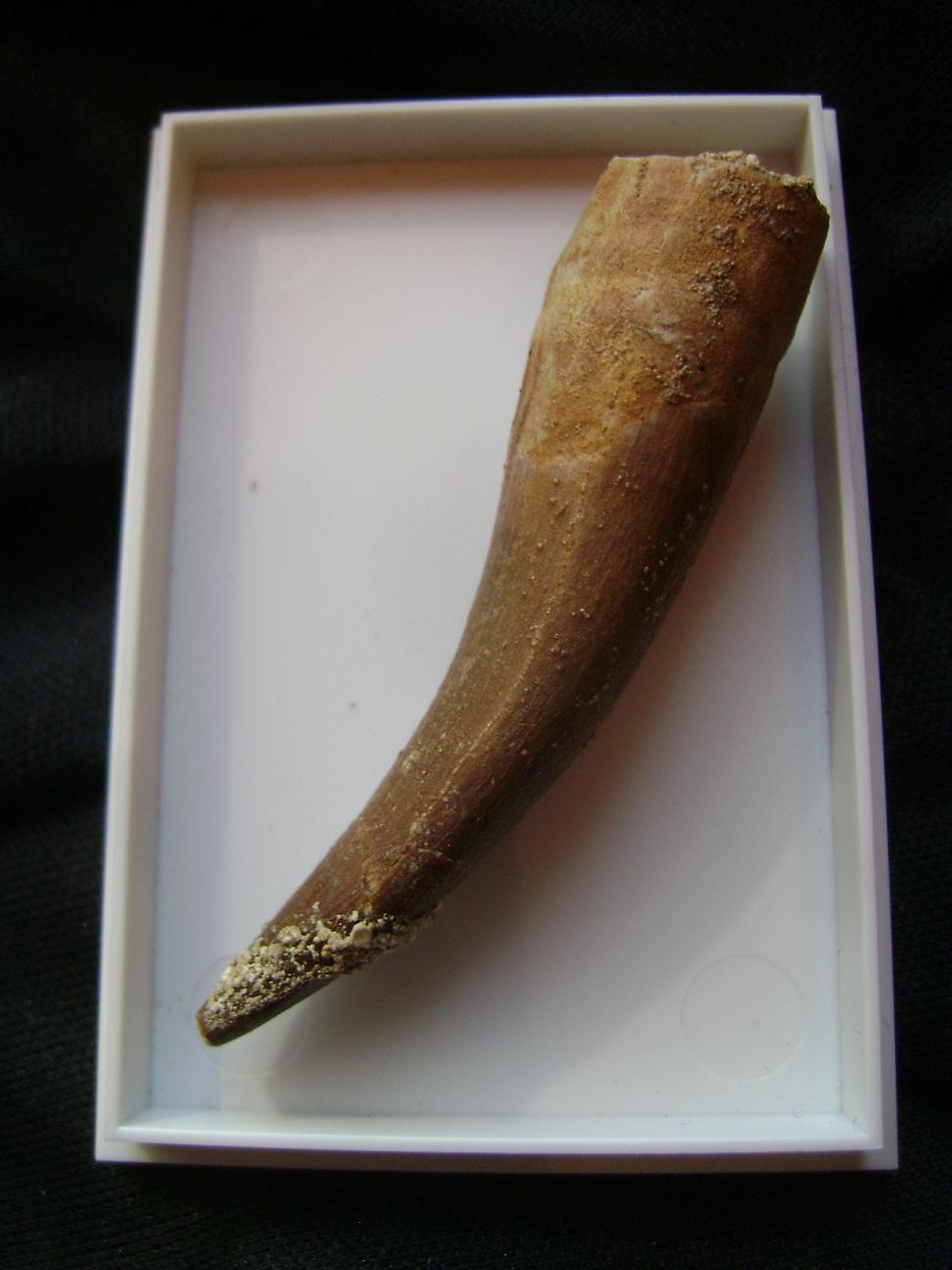 Fosil_zub_Plesiosaurus_1.JPG